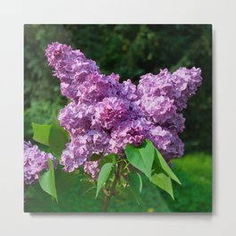 Syringa - Common Lilac Metal Print