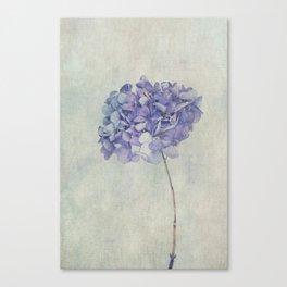 Beautiful Blue Hydrangea Canvas Print