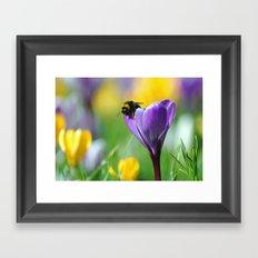 Bumble Bee on Crocus Framed Art Print