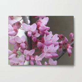 Redbud Bloom Metal Print