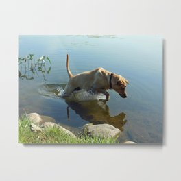 Labrador Retriever Leaps for Fish Metal Print