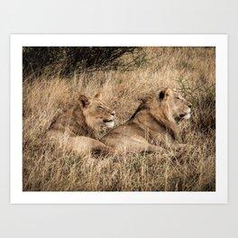 Camouflaged African Male Lions of the Kalahari Desert Art Print