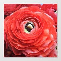 Ruby Ranunculus Canvas Print