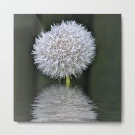 Wet dandelion Metal Print
