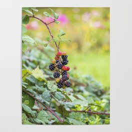 Blackberry. Poster