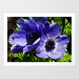 Two Blue Mauve Anemone - Close Up Windflowers  Art Print
