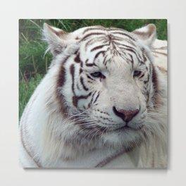 White Wild Tiger Metal Print