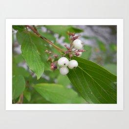 White Berries Art Print