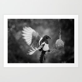 Magpie Feeding Art Print
