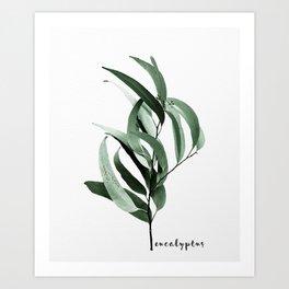 Eucalyptus - Australian gum tree Art Print