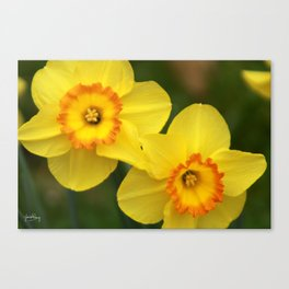 Daffodil smile Canvas Print