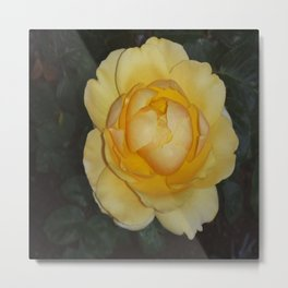 Yellow Rose from my garden Metal Print