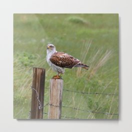 Ferruginous Hawk waiting out the rain Metal Print