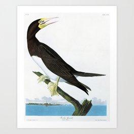 Booby Gannet - John James Audubon Art Print
