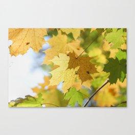 Early autmn maple leaf Canvas Print