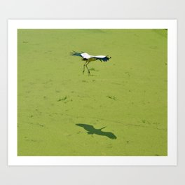 Flying Wood Stork with Shadow Art Print