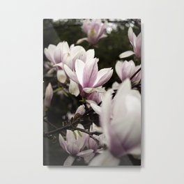 Pink and White Magnolia Blossoms Capture Sunshine Through Cloudcover Metal Print