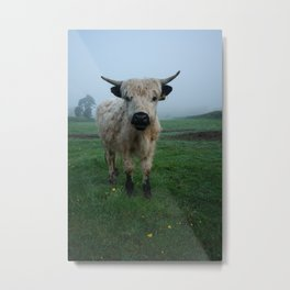 Young White High Park Cattle Metal Print