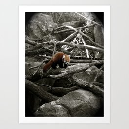 The Lone Red Panda Art Print
