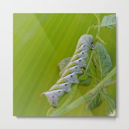 Tomato Horn Worm Metal Print