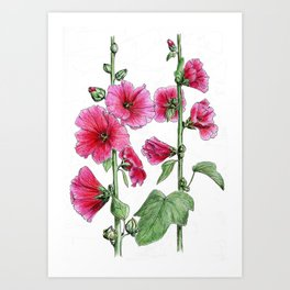Botanical illustration of mallow Art Print