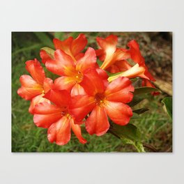 Vireya Flame Canvas Print