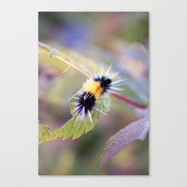 Wooly Brear Caterpillar Canvas Print