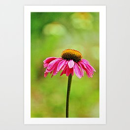 Pink Pop Coneflower Art Print