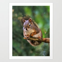 Who, Me? A Saucy Red Squirrel Art Print