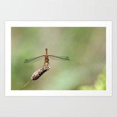 Autumn Meadowhawk Dragonfly Art Print