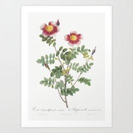 Variegated Flowering Variety of Burnet Rose, Rosa pimpinellifolia flore variegato from Les Roses (18 Art Print