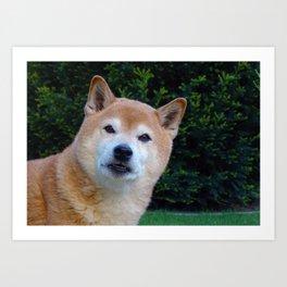 Cute Shiba Dog Art Print