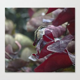 Hummingbird Hiding in Red Bud Tree Canvas Print