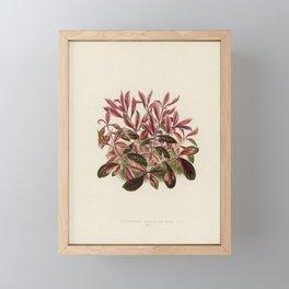 Dwarf Copperleaf (Alternanthera Sessilis) engraved by Benjamin Fawcett (1808-1893) for Shirley Hibbe Framed Mini Art Print
