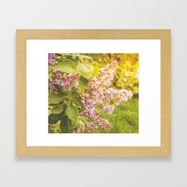 Lilac branch, close-up on a bright sunny day Framed Art Print