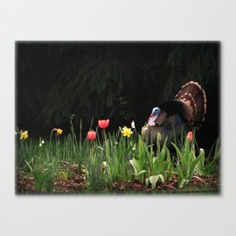 Turkey In The Tulips Canvas Print