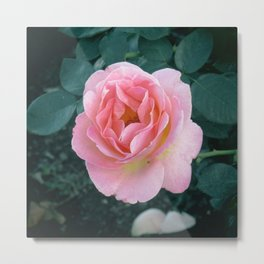 A Pink Balboa Rose Metal Print