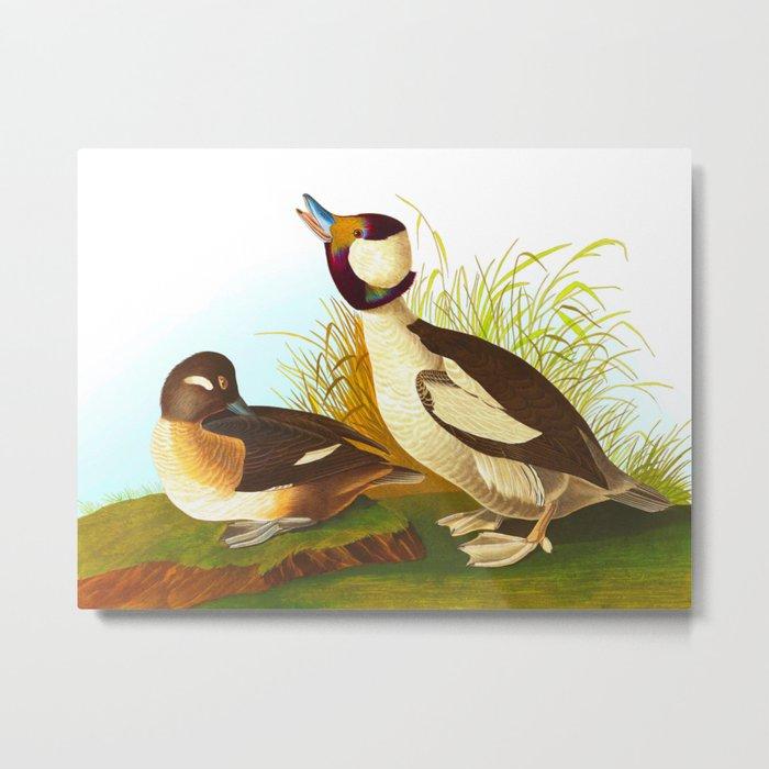 Bufflehead Duck Vintage Illustration Metal Print