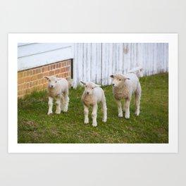 3 Little Lambs Art Print
