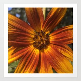 Sunburst Sunflower Art Print