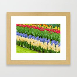 Vibrant flowerbed spring flower park with hyacinth and tulips Framed Art Print