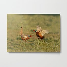 Pheasants fighting. Metal Print