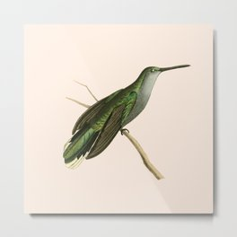 Grey Sickle-winged Humming Bird Illustration by William Swainson Metal Print