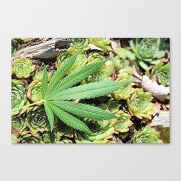 Succulent Sativa Canvas Print
