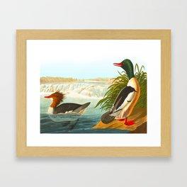 Goosander or Common Merganser Framed Art Print