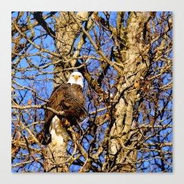 Bald Eagle (9279) Canvas Print