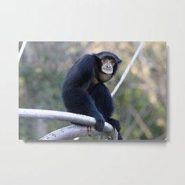 Sumatran Gibbon Metal Print