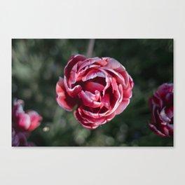 Flowering Pink Tulip Canvas Print