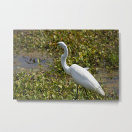 Great Egret on the Prowl Metal Print