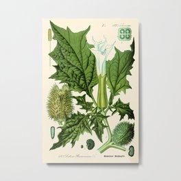 Datura stramonium (thorn apple - jimson weed or devil s snare) - Vintage botanical illustration Metal Print
